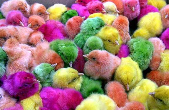 colored baby chickens