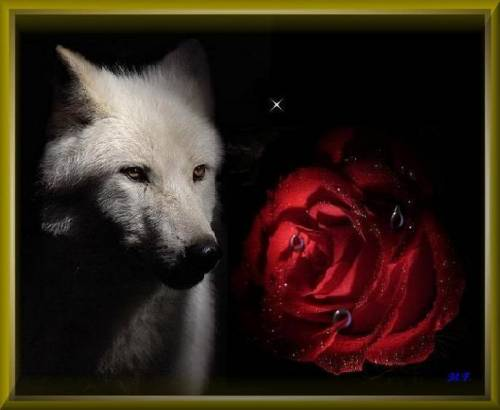 Rose With Wolf Facebook Comments And Graphics Rose With