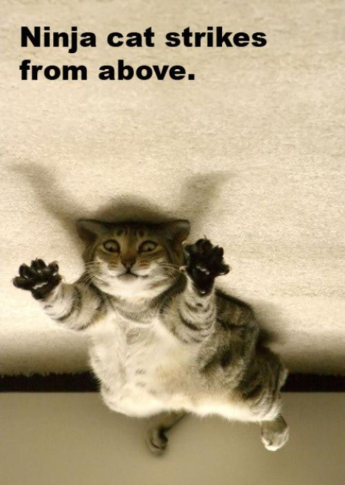 ninja cat strikes from above