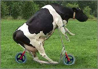 Cow riding a scooter