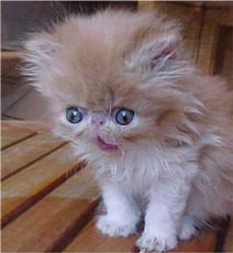 kitten with afro